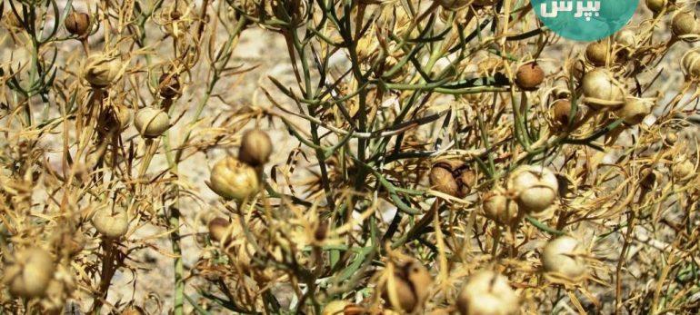 اسپند و اوکالیپتوس؛ با استنشاق این دو گیاه بر برخی بیماری ها غلبه کنیم