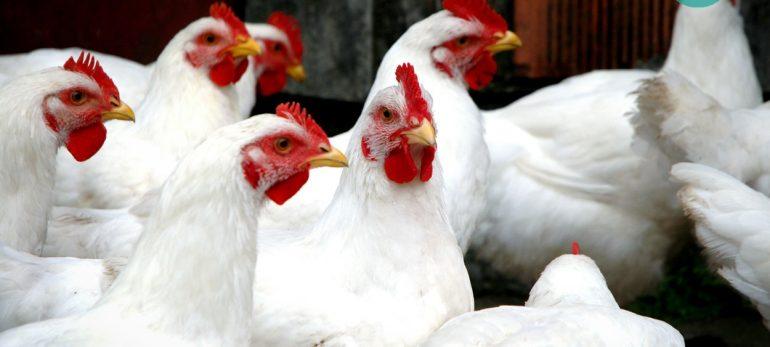 آنفلوآنزای مرغی از چه راهی منتقل می شود؟
