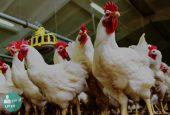 مرغ های سربی یا آنتیبیوتیکی