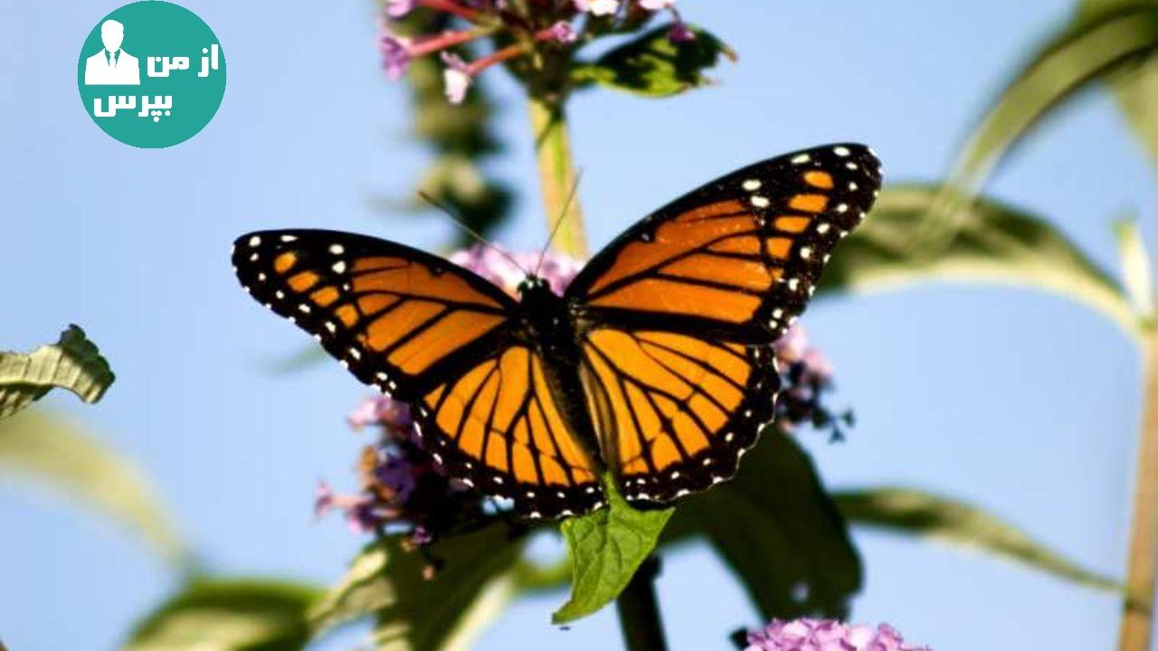 پروانه ها